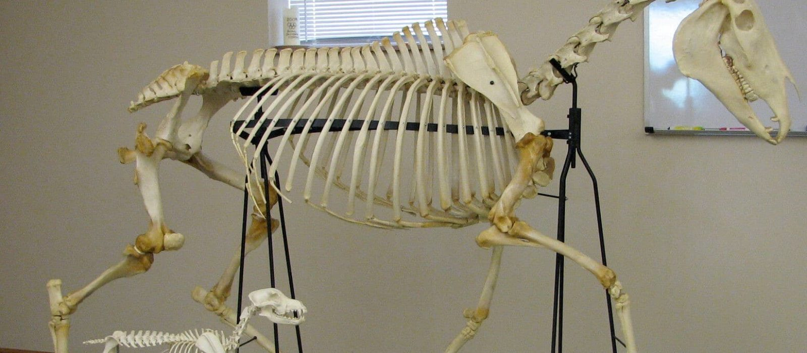 Dog-and-Horse-Skeleton
