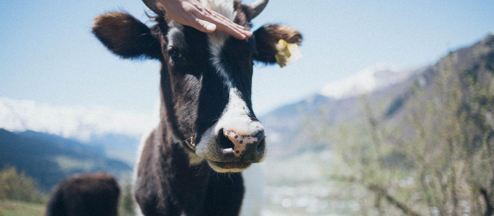 Show-Cattle-FFA